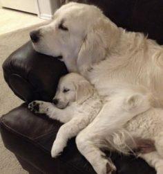 Fête des pères : les plus belles photos de chiots avec leur papa chien ! – audrey123soleil